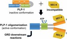 NLR surveillance of essential SEC-9 SNARE proteins induces programmed cell death upon allorecognition in filamentous fungi